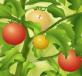 Bảo vệ cà chua
