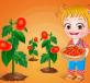 Thu hoạch cà chua
